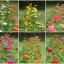 ชุดรวมดอกบานชื่น 6 สี - Zinnia 6 in 1 thumbnail 3