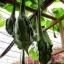 น้ำเต้าไดโนซอร์ - Dinosaur Gourd thumbnail 3