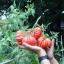 มะเขือเทศซาโปติค - Zapotic Pleated Tomato thumbnail 5