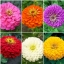 ชุดรวมดอกบานชื่น 6 สี - Zinnia 6 in 1 thumbnail 1