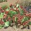 กระบองเพชรทานผล พริคกี้ แพร์ - Prickly Pear Cactus thumbnail 2