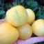 มะเขือเทศพีท - Peach Tomato thumbnail 2