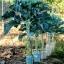 คะน้าต้นสูง - Portuguesa Kale Tree thumbnail 1