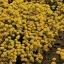 ดอกอลิซซั่ม สีเหลืองทอง 30เมล็ด/ชุด thumbnail 1