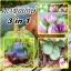 ชุดรวมมะเขือยักษ์ - Giant Eggplant 3 in 1 thumbnail 1