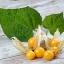 แคปกูสเบอรี่ - Cape gooseberry thumbnail 6