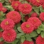 (Whole 1 Oz) ดอกบานชื่นสีแดง - Red Zinnia Flower thumbnail 3