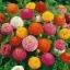 บานชื่น ลิลลิพุท คละสี - Mixed Lilliput zinnia flower thumbnail 1