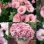 ดอกไลซิแอนธัส สีชมพู 5 เมล็ด/ชุด thumbnail 1