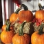 ฟักทองฮาโลวีน พันธุ์วอฟ - Wolf pumpkin thumbnail 3