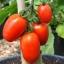 มะเขือเทศอะมิสเพสท์ - Amish Paste Tomato thumbnail 1
