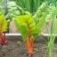 สวิสชาร์ตสีส้ม - Orange Swiss chard thumbnail 3