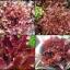 เรด สลัด โบว์ล 100 เมล็ด/ชุด thumbnail 1