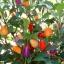 พริกประดับ โบลีเวียนเรนโบว์ - Bolivian Rainbow thumbnail 3