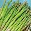 (Whole 1 Oz.) หน่อไม้ฝรั่ง พันธุ์แมรี่วอชิงตัน - Mary Washington Asparagus thumbnail 1
