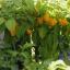 พริกสกอตช์บอนเนต - Orange Scotch Bonnet Pepper thumbnail 3