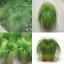 หญ้าประดับ เดสแชมเซีย เซฟเฟอร์ (Deschampsia Zephyr) 5เมล็ด/ชุด thumbnail 1