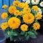 ดอกบานชื่นสีเหลือง - Mixed Yellow Zinnia Flower thumbnail 2