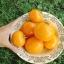 มะเขือเทศ ซันเรย์ - Sunray Tomato thumbnail 1