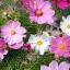 (Whole 1 LB) ดาวกระจายคละสี - Mixed Cosmos Flower thumbnail 2