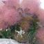 ต้นเพอร์เพิล สโมค ซองละ 5 เมล็ด thumbnail 1