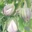 มะเขือยักษ์อิตาเลี่ยนสีชมพู - Pink Giant Italian Eggplant thumbnail 3