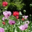 ดอกป็อปปี้โอเรียนเต็ล คละสี - Oriental Poppy Flower Mix thumbnail 2