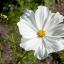 (Whole 1 Oz) ดาวกระจายสีขาว - White Cosmos Flower thumbnail 4