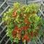 มะเขือเทศ ฮันเรดแอนเทาซัน - Hundred and Thousands Tomato thumbnail 1