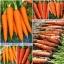 แครอทสีส้ม - Royal Chantenay Carrot thumbnail 2