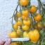 มะเขือเทศแอนนา - Anna Herman Tomato thumbnail 3