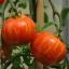 มะเขือเทศเสือ - Tigerella Tomato thumbnail 2