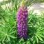 รัสเซล ลูปิน - ม่วง -Purple Russell Lupin Flower thumbnail 2