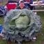 (Whole 1 Oz) กะหล่ำปลียักษ์ - Giant Russian Cabbage thumbnail 4