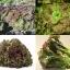 """สลัด""""ไพรซ์เฮด"""" (Prizehead Lettuce) 50เมล็ด/ชุด thumbnail 1"""