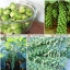 (Big Pack) กะหล่ำดาว - Brussels Sprout thumbnail 1