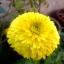 ดอกคาเลนดูล่า สีเหลือง - Calendula Bon Bon Yellow Flower thumbnail 4
