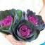 ปูเล่ประดับ เรดเครน - Red Crane Flowering Kale thumbnail 2