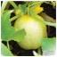 แตงกวาเลม่อน - Lemon Cucumber thumbnail 1
