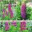 รัสเซล ลูปิน - ม่วง -Purple Russell Lupin Flower thumbnail 3
