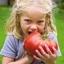 มะเขือเทศยักษ์ - Giant Belgium Tomato thumbnail 1