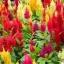 ดอกสร้อยไก่ คละสี 30 เมล็ด/ชุด thumbnail 1