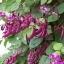 ถั่วแปบสีม่วง - Hyacinth bean thumbnail 1