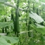 แตงกวา เทเลกราฟ - Telegraph Cucumber thumbnail 4