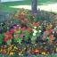 ดอกบานชื่นอเมริกา คละสี - CA Zinnia Flower thumbnail 2