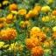 (Whole 1 Oz) ดาวเรืองคละสี - Mixed Marigold Flower thumbnail 2