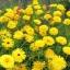 ดอกคาเลนดูล่า สีเหลือง - Calendula Bon Bon Yellow Flower thumbnail 3