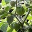 แคปกูสเบอรี่ - Cape gooseberry thumbnail 3