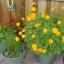 ดาวกระจายสีเหลือง - Yellow Cosmos Flower thumbnail 2