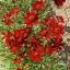 คอรีอ็อฟซิส สีแดง 30 เมล็ด/ชุด thumbnail 1